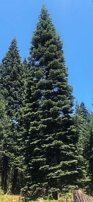 "Arbol de Navidad del Capitolio de EE.UU. 2021 del Bosque Nacional Six Rivers: ""Sugar Bear""."